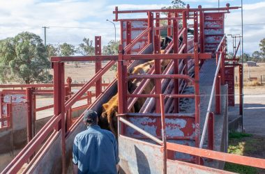 bolster safety culture around livestock